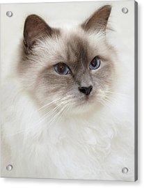 Sacred Birman Cat With Blue Eyes Acrylic Print by MariaR