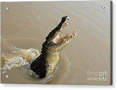Salt Water Crocodile 2 Acrylic Print by Bob Christopher