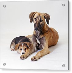 Saluki Lurcher And Welsh Corgi Puppy Acrylic Print by Jane Burton