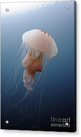 Sea Nettle Jellyfish In Atlantic Ocean Acrylic Print by Karen Doody