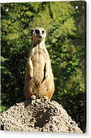 Acrylic Print featuring the photograph Sentinel Meerkat by Carla Parris