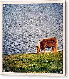 Shetland's Pony Acrylic Print