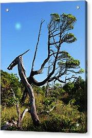 Shorepine Bog Acrylic Print by Dayvid Clarkson