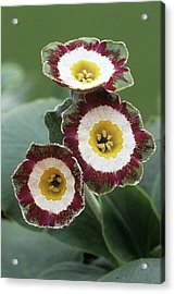 Show Auricula 'astolat' Flowers Acrylic Print by Archie Young