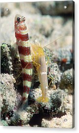 Shrimp Goby With Its Partner Shrimp Acrylic Print by Georgette Douwma