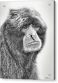 Siamang Acrylic Print by Larry Linton