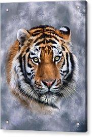 Siberian Tiger Acrylic Print by Julie L Hoddinott