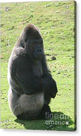 Sitting Gorilla Acrylic Print by Carol Wright