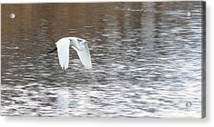 Acrylic Print featuring the photograph Snowy Egret Flight by Mark J Seefeldt