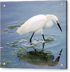 Snowy Egret Acrylic Print by Meeli Sonn