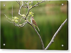 Acrylic Print featuring the photograph Song Sparrow by Mary McAvoy