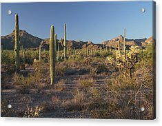 Sonoran Desert Scene With Saguaro Acrylic Print by George Grall