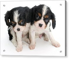 Spaniel Puppies Acrylic Print by Jane Burton