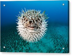 Spotted Porcupinefish Acrylic Print by Dave Fleetham
