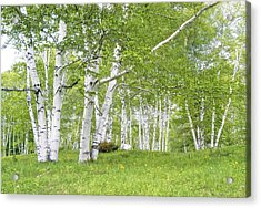 Spring Birches Acrylic Print by Gordon Ripley