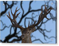 Stag Ramifications Acrylic Print by Michael Mogensen