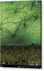 Staghorn Fern, Sem Acrylic Print by Ted Kinsman