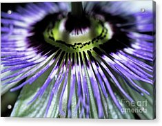 Stamen Of A Passionflower Acrylic Print