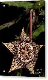 Stapelia Flower Acrylic Print by Dant� Fenolio