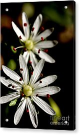 Star Chickweed Acrylic Print by Thomas R Fletcher