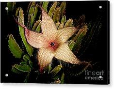 Starfish Flower Acrylic Print by Dant� Fenolio