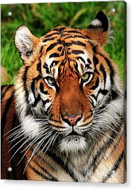 Sumatran Tiger Portrait Acrylic Print