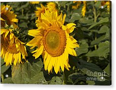 Acrylic Print featuring the photograph Sun Flower by William Norton