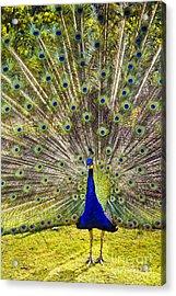 Sun King Acrylic Print by David Lade