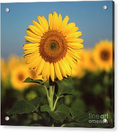 Sunflower Acrylic Print by Bernard Jaubert