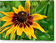 Sunflower Acrylic Print by Kathy King