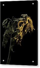 Sunflower Acrylic Print by Nathaniel Kolby