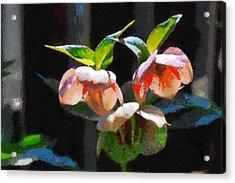 Sunlit Hellabores Acrylic Print