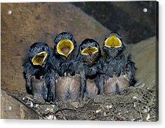 Swallow Chicks Acrylic Print by Georgette Douwma