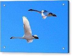 Swans On Blue Sky Acrylic Print by Don Mann