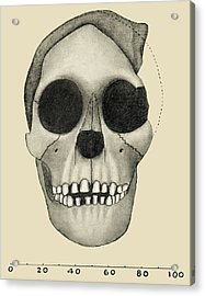 Taung Child Skull Acrylic Print by Sheila Terry