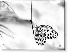 The Paper Kite Butterfly In Black And White Acrylic Print