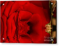 The Rose Acrylic Print by Adrian LaRoque