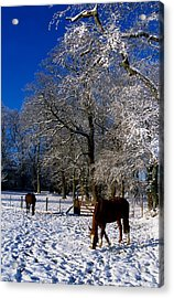 Thoroughbred Horses, Mares In Snow Acrylic Print by The Irish Image Collection