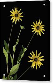 Three Yellow Flowers Acrylic Print by Deddeda