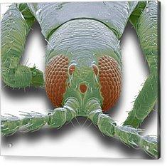 Thrip Head, Sem Acrylic Print by Steve Gschmeissner
