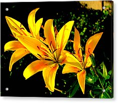 Tiger Lily Acrylic Print by Amy Bradley