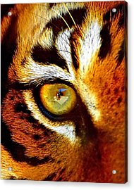 Tigers Eye Acrylic Print
