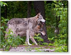 Timber Wolves Acrylic Print by Michael Cummings