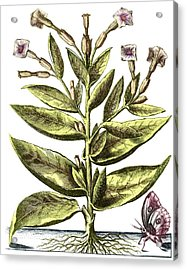 Tobacco Plant, 17th Century Artwork Acrylic Print by Middle Temple Library