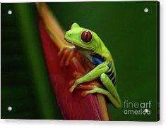 Tree Frog 19 Acrylic Print by Bob Christopher