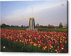 Tulip Field And Windmill Acrylic Print by Natural Selection Craig Tuttle