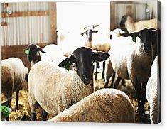 Usa, Illinois, Metamora, Sheep In Barn Acrylic Print by Sarah M. Golonka