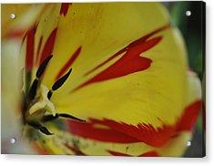 Variegated Tulip Acrylic Print by Rob Hemphill