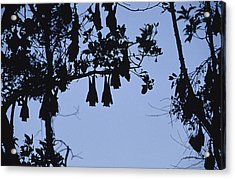 Vulnerable Spectacled Flying Fox Bats Acrylic Print by Jason Edwards