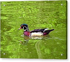 Water Wood Duck Acrylic Print by Wendy McKennon